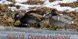 Female Woodduck and Green Winged Teal Male
