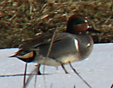 Green-winged Teal at Huntington Farms pond