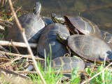 Possibly ten turtles sunning yesterday