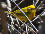 Yellow Warbler at Runnymede
