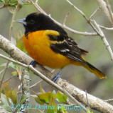 My second visit from a Baltimore Oriole