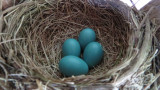 Four Robin Eggs