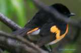 Male Redstart obstructed by branches