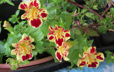 Mimulus Flowers Look like Orchids