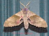 Sweet Heart Underwing Moth?