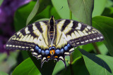 Yellow  Swallowtail on the lilac a couple of days ago