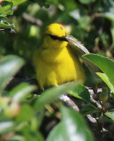 Blue Winged Warbler (with a mite or a tick on its head?)