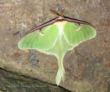 My First Luna Moth this Year