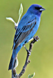 Indigo Bunting for One Second!