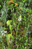 Pitcher plants with Flower