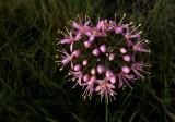 Allium stellatum