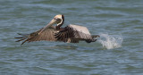 Pélican brun - 0V3A9700 - Brown Pelican