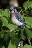 Geai bleu --- 0V3A0295 --- Blue Jay