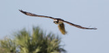 Balbuzard - 0V3A4617 - Osprey