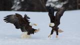 Pygargue à tête blanche - _E5H8326 - Bald Eagle