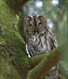 Tawny Owl - Bosuil - Strix aluco