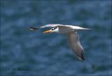 Royal Tern _ Koningsstern - Thalasseus maximus