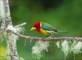 Red - Headed Barbet - Roodkopbaardvogel -  Eubucco bourcierii