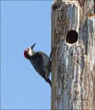 Black- cheeked Woodpecker - Zwartwangspecht - Melanerpes pucherani