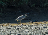Yellow-crowned Night Heron - Geelkruinkwak - Nyctanassa violacea