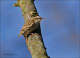 Short-toed Treecreeper  - Boomkruiper - Certhia brachydactyla