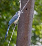 White-throated Magpie-Jay - Ekstergaai - Calocitta formosa