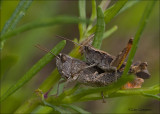 Heath grasshopper - Steppesprinkhaan - Chorthippus vagans