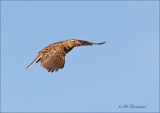 Eurasian skylark - Veldleeuwerik - Alauda arvensis