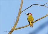 European Green Woodpecker (Female) - Groene Specht - Picus viridis
