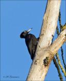 Black Woodpecker - Zwarte Specht - Dryocopus martius