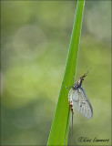 Mayfly - Eendagsvlieg -  Ephemera spec.