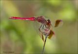 Dragonflies and damselflys - Libellen