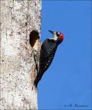 Black-cheeked Woodpecker - Zwartwangspecht - Melanerpes pucherani