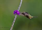 magenta throated woodstar - Costaricaanse boself - Calliphlox bryantae