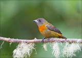 Cherrie's Tanager ( female )- Costaricaanse tangare - Ramphocelus costaricensis