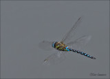 Dragonflies and damselflys - Libellen
