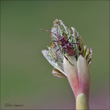 Western Conifer Seed Bug - Bladpootrandwants -  Leptoglossus occidentalis