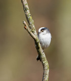 Long-tailed Tit  - Staartmees -  Aegithalos caudatus