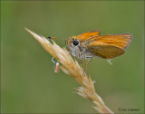 Essex Skipper - Zwartsprietdikkopje - Thymelicus lineola