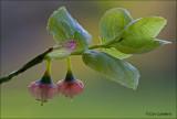 Berry - Bosbes - Vaccinium mirtillus