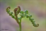 Bracken - Adelaarsvaren - Pteridium aquilinum