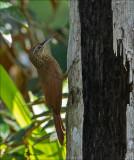 Cocoa Woodcreeper -  Cocoamuisspecht - Xiphorhynchus susurrans