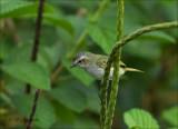 Paltry tyrannulet -  Brilvliegenpikker - Zimmerius vilissimus