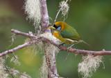Red - Headed Barbet - (female)   Roodkopbaardvogel - Eubucco bourcierii
