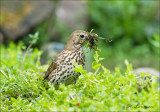 Song Thrush - Zanglijster - Turdus philomelos