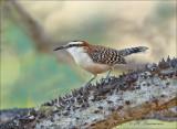 Rufous-naped Wren - Roodnekwinterkoning - Campylorhynchus rufinucha