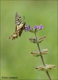 Spanish Festoon - Spaanse pijpbloemvlinder - Zerynthia rumina