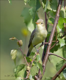 Icterine Warbler - Spotvogel - Hippolais icterina