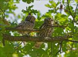 Little Owl - Steenuil - Athene noctua