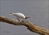 Black-headed Gull - Kokmeeuw -  Chroicocephalus ridibundus